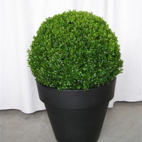 buxus-in-witte-of-zwrate-pot-1-.jpg