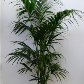 kentia-palm---200---220-cm-in-witte-of-zwarte-pot.jpg
